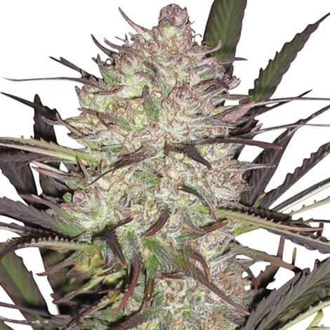Cannabis Seeds Australia