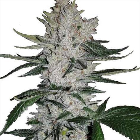 Marijuana Seeds Australia