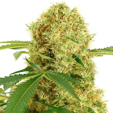 Pot Seeds Australia