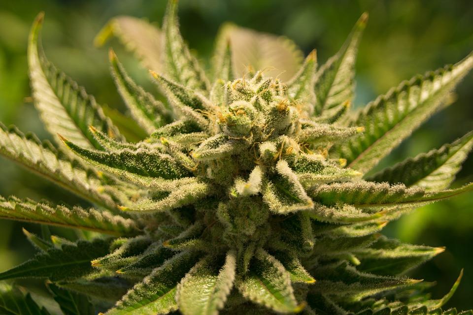 best cannabis seed bank australia