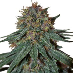 Purple Haze Seeds Australia