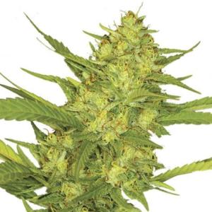 Sour Diesel Seeds Australia
