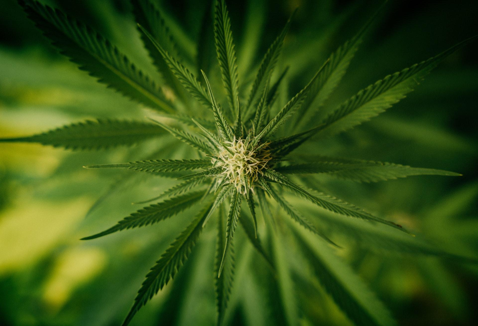 Different Cannabis Strains Indica Sativa Ruderalis