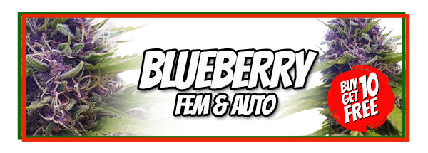 Buy Blueberry Cannabis Seeds Australia